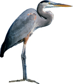 Free Grey Heron Vector
