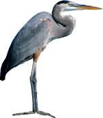Free Grey Heron Vector