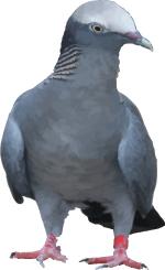 Free Pigeon Vector
