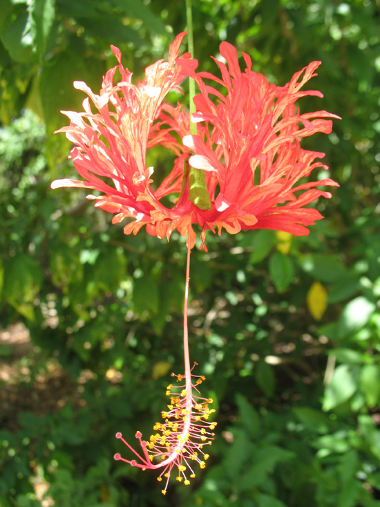 coral hibiscus flower in the heritage garden,Botanic Park cayman picture