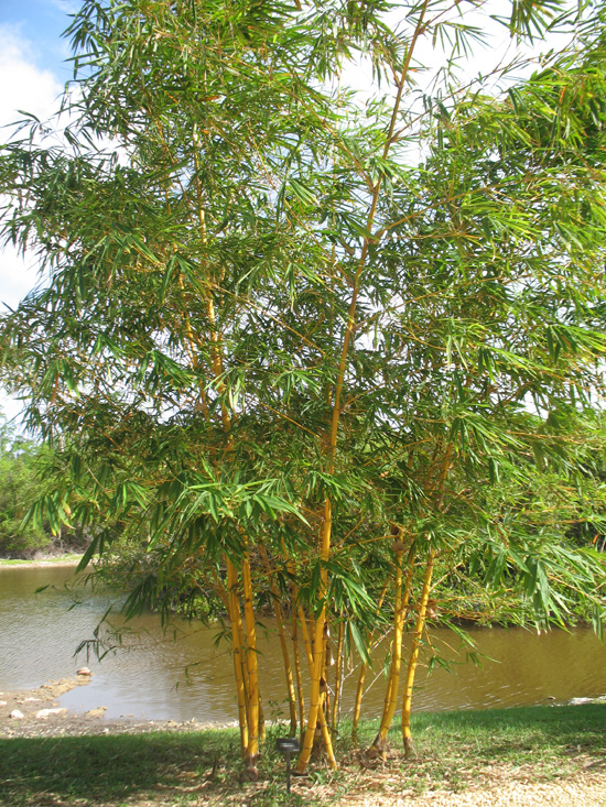 Picture of golden goddess bamboo in the lake and wetlands,Botanic Park ...