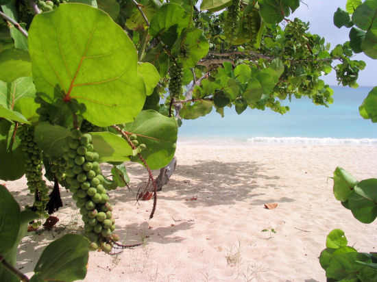 A picture of the Sea Grapes on Cemetery beach , Grand Cayman.