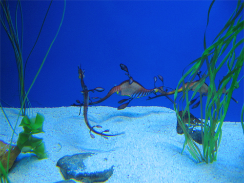 Picture of a leafy Sea Dragon in The Atoll Reef in Ocean Park in Hong Kong, China.