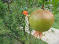 Pomegranate Fruit And Flower at Hope Botanical Gardens, Kingston, Jamaica