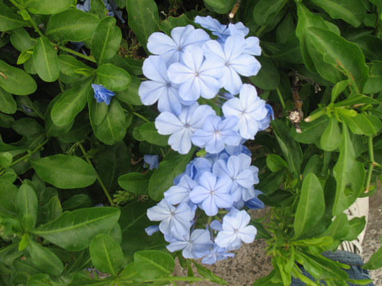 Picture of  The  South African Leadwort Plumbago Capensis at Hope Botanical Gardens, Kingston, Jamaica is shown on this page.