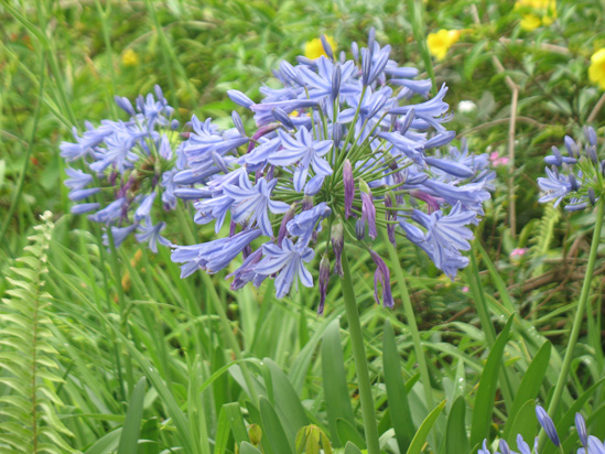 Picture of  The  Lily Of The Nile Agapanthus Spp at Strawberry Hill, Jamaica is shown on this page.