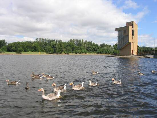 Some Geese and Ducks in Strathclyde Country park.