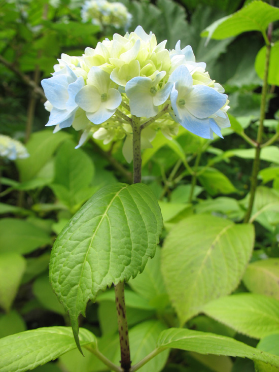 white blue flower dunvagan castle gardens scotland picture