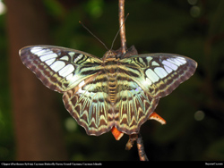 clipper parthenos sylvia butterfly