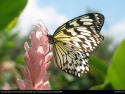 Free danaidae idea leuconoe paper kite butterfly Desktop Wallpaper
