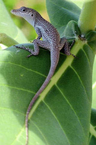 Free Picture of a  Blue Anole on Leaf in Grand Cayman for you to download to your iPhone.