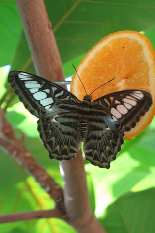 Free Picture of a  Butterfly on an Orange for you to download to your iPhone.