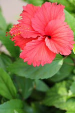 free iphone wallpaper of red hibiscus