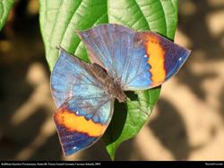 Cayman kallima inachus formosana butterfly