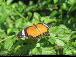 plain tiger danaus chrysippus butterfly